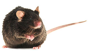 diet-induced-obese-b6-mouse-model