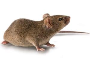 rasH2-mouse